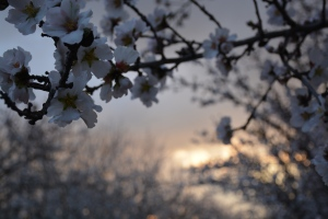Almond blooms against the sunset and clouds