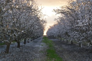 A row of almond trees in bloom (and one of my walking areas)