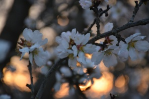 Almond blooms against the sunset